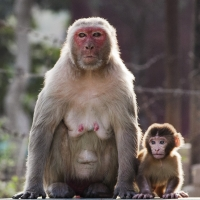 A Rhesus Macaque mother and child glean their vibrantly colored eyes to the road.