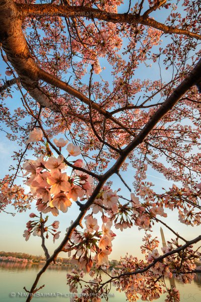 Shimmering Cherry Blossoms at Sunrise on the Tidal Basin