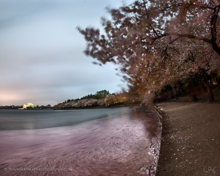Fallen petals act as somber gifts of grace from the Cherry Blossom peak at the Tidal Basin
