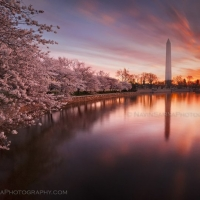 Cherry Blossom Sunrise Washington DC Monument