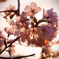 Washington DC Cherry Blossom Sunlight Macro