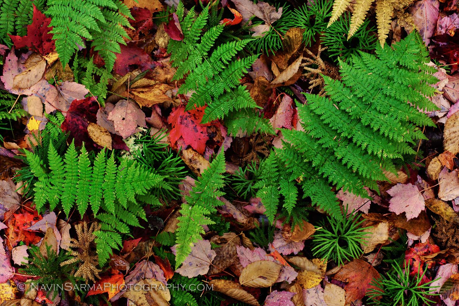 Red maple leaves ferns Elakala Falls Blackwater Falls