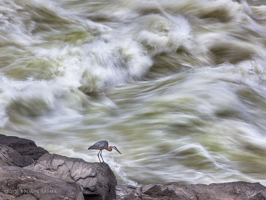 A Great Blue Heron scales a strip of bedrock alongside the violent currents of Great Falls.