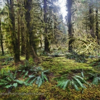 hoh_rainforest_ferns