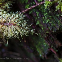 Hoh rainforest macro