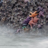 Water whisks by a rock full of starfish at Second Beach, Olympic National Park.