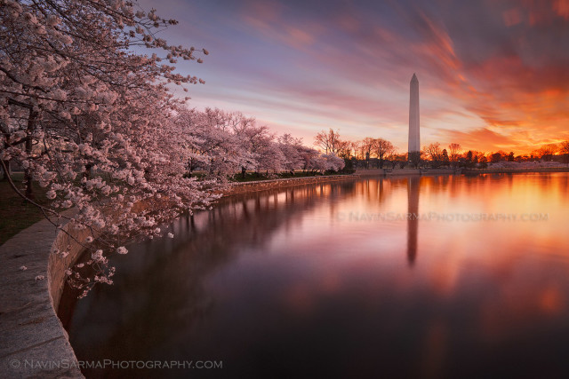 Magenta clouds streak in the sky over the Washington Monument and a row of cherry blossoms at the Tidal Basin.
