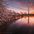 Awakening - Cherry Blossom Sunrise