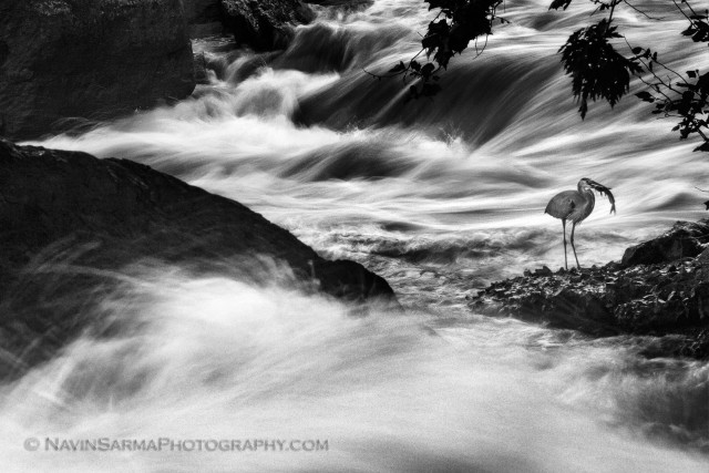 A Great Blue Heron rises from the violent rapids with a prize.