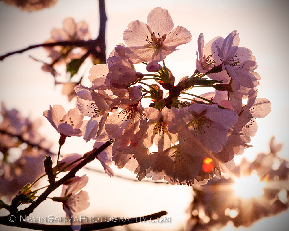 Cherry Blossom Sunlight Macro